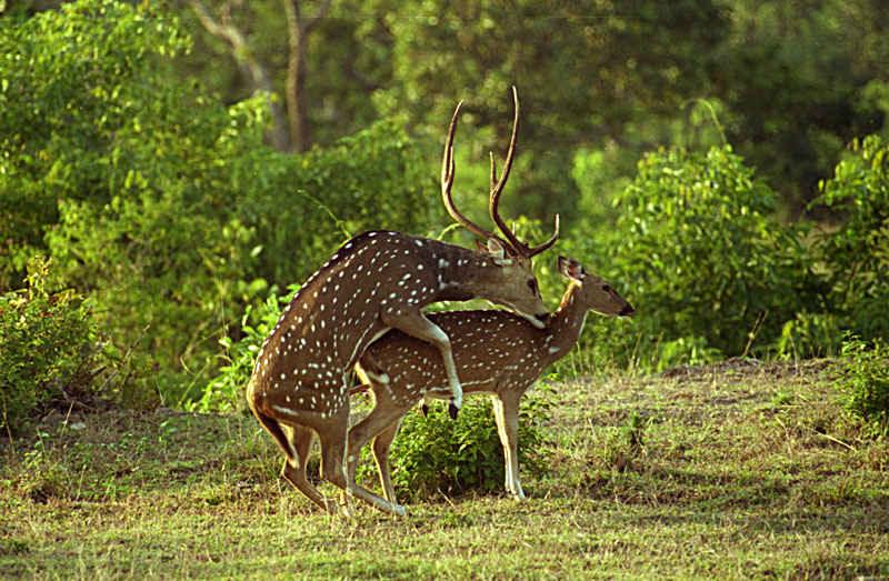 Spotted Deers Mating. Spotted Deers Mating