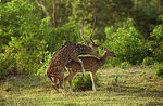 Title: Spotted Deers Mating