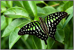 Title: Tailed jay