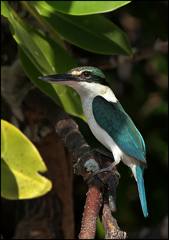 White collared King fisher