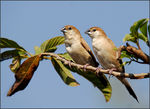 Title: Indian Silver bill