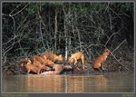Title: Wild dogs with kill