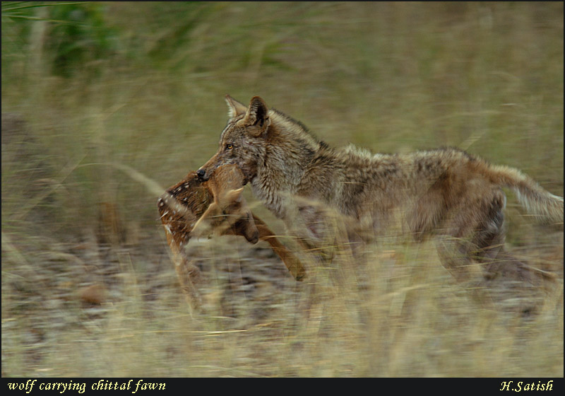 Wolf carrying chital Fawn