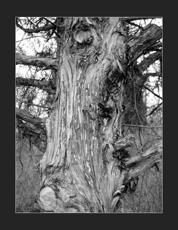 Tired Old Tree