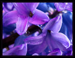 Title: Rain on HyacinthCanon Powershot SD450