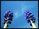 Title: Too Talls (Grape Hyacinth)Canon Powershot SD450