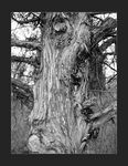 Title: Tired Old Tree