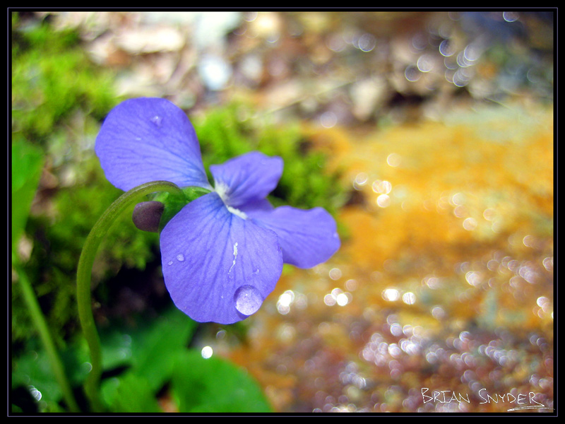 Catoctin Violet on Rainbow Rock
