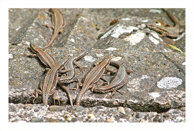 Group of lizards
