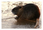 Title: Another Coypu