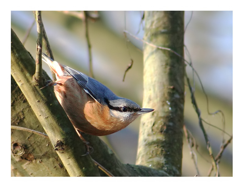 Nuthatch in the tree