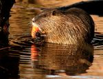 Title: Coypu eating a carrot