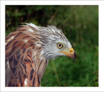 Title: Red Kite under the rain