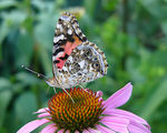 Title: Painted Lady Butterfly