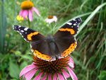 Title: Red Admiral Butterfy