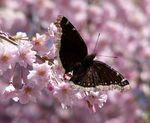 Title: Mourning Cloak on Ornamental Cherry Tree