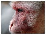 Title: Macaque face