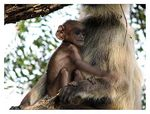 Title: Young langur