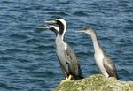 Title: Spotted Shags