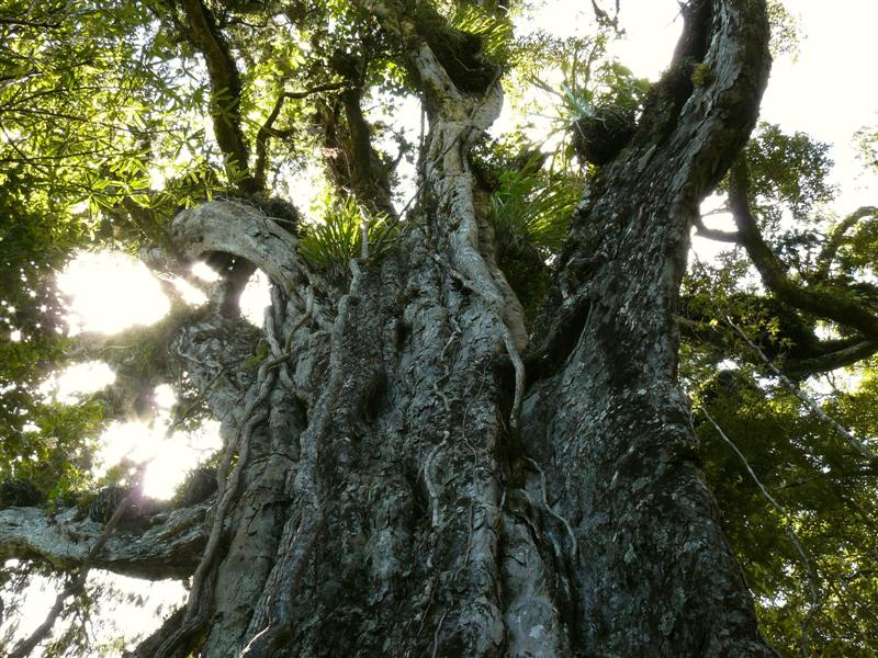 The Mighty Rimu