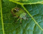 Title: Green Vegetable Bug
