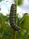 Title: Monarch Caterpillar