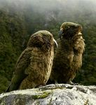 Title: New Zealand Kea Camera: Panasonic Lumix DMC-FZ-2-S