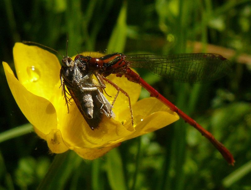 Red Damsel With Prey