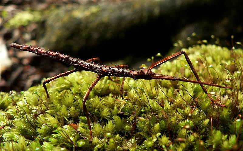 Prickly Stick Insect