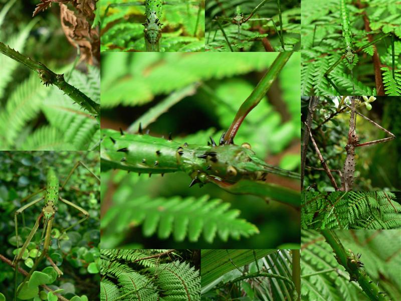 New Zealand Stick Insects