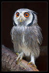 Title: White Faced Scops Owl