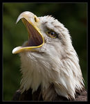 Title: Screaming Bald Eagle Camera: Canon 20D