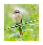Title: Brown Shrike#3(Lanius cristatus)