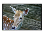 Title: Spotted Deer