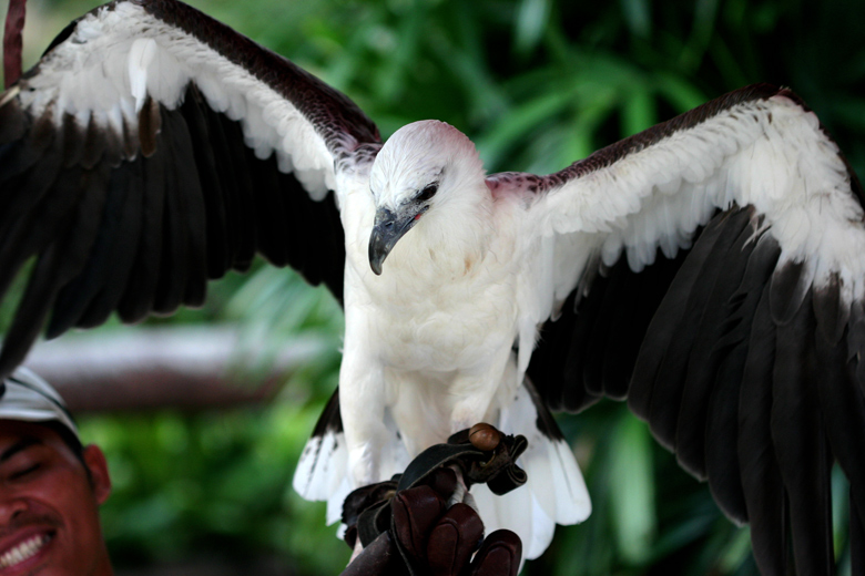 White Bellied Sea Eagle and Handler