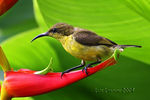 Title: Olive-backed Sunbird Females