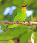 Title: Yellow Throated Leafbird