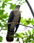 Title: Philippine Hawk Cuckoo