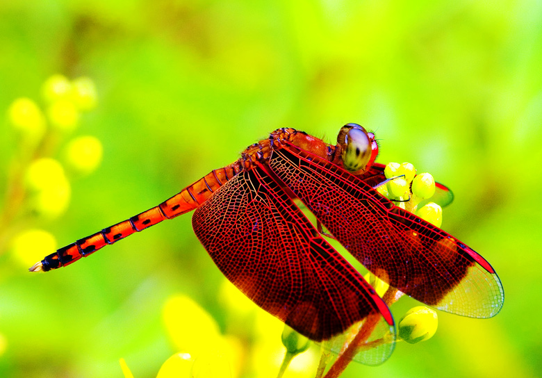Red Dragonfly on Yellow Flower