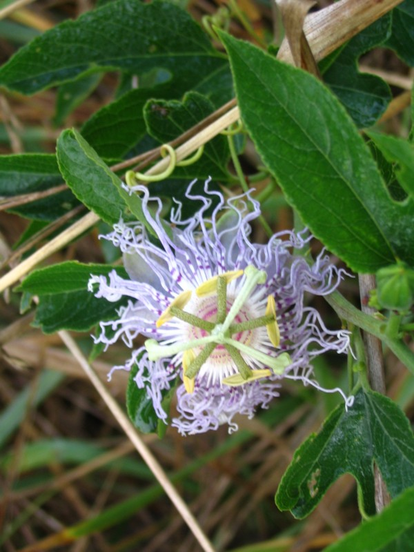Lone Passion Flower