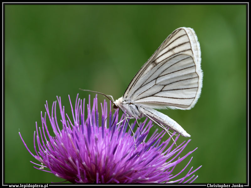 Black-veined Moth