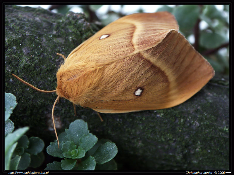 Oak eggar - female