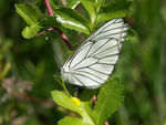 Title: Black-veined White