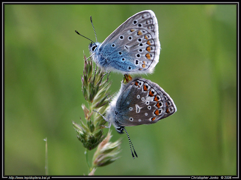 Common Blue in love