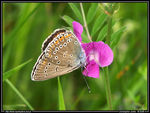 Title: Common Blue - the female