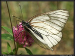Title: Black-veined White II