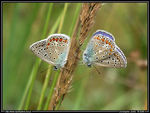 Title: Common Blue - sleeping pair