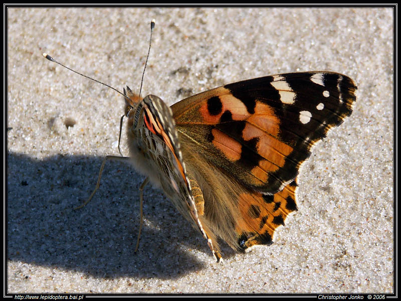 Painted Lady II