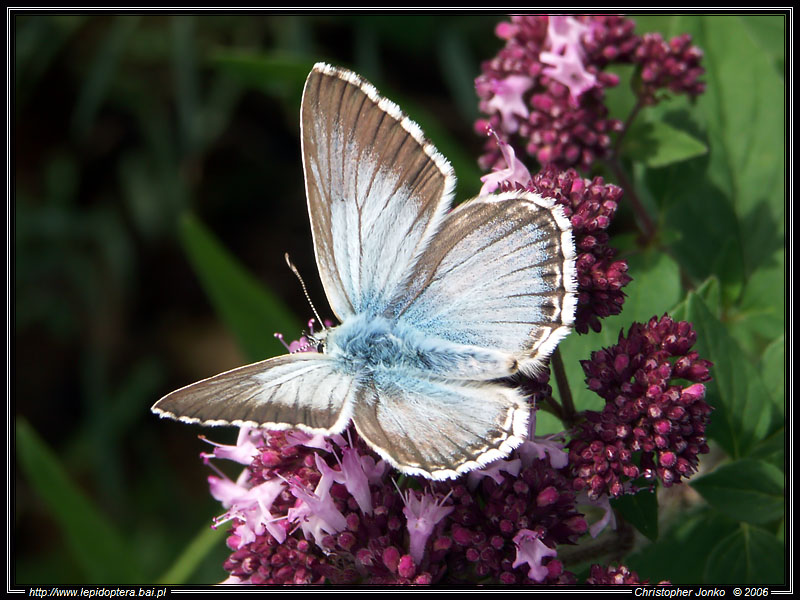 Chalk Hill Blue II