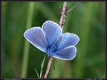 Title: Common Blue II
